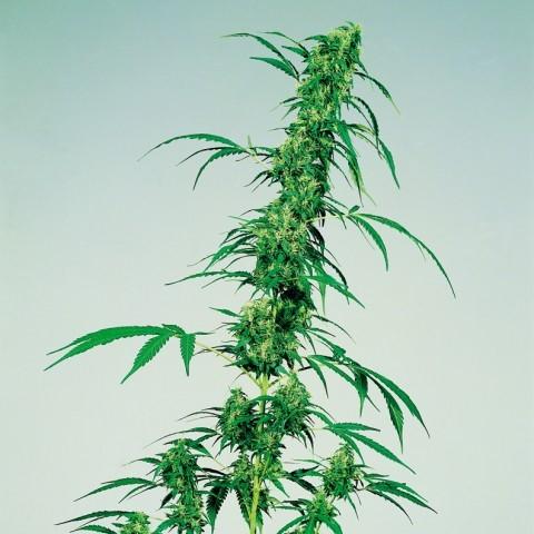 marihuana-medicinal-3.jpg