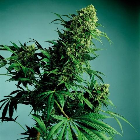marihuana-medicinal-4.jpg